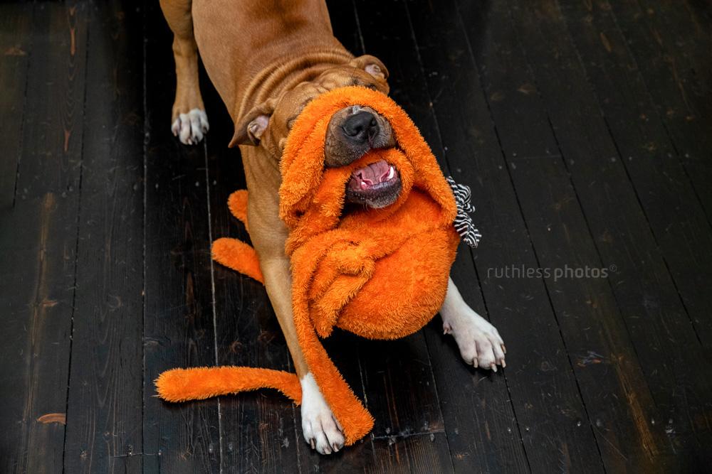 red dog wrestling with orange octopus toy