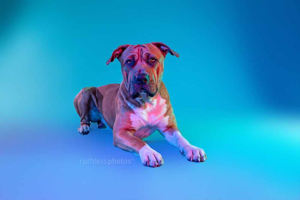 dog photographed with coloured gels