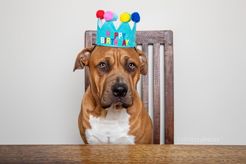 birthday pitbull
