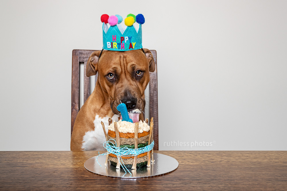 birthday pitbull with cake lick