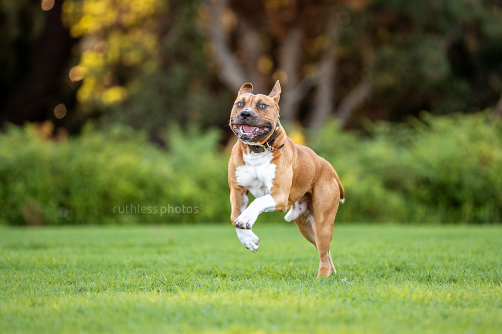 fit red pit bull dog running in park