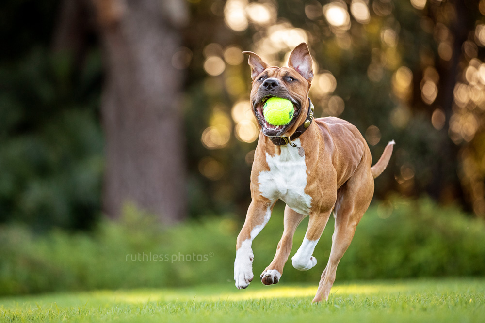 fit red pit bull dog running in park with ball in mouth