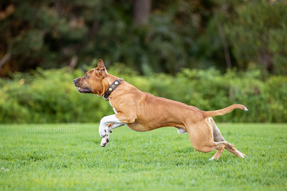 fit red pit bull dog leaping in park