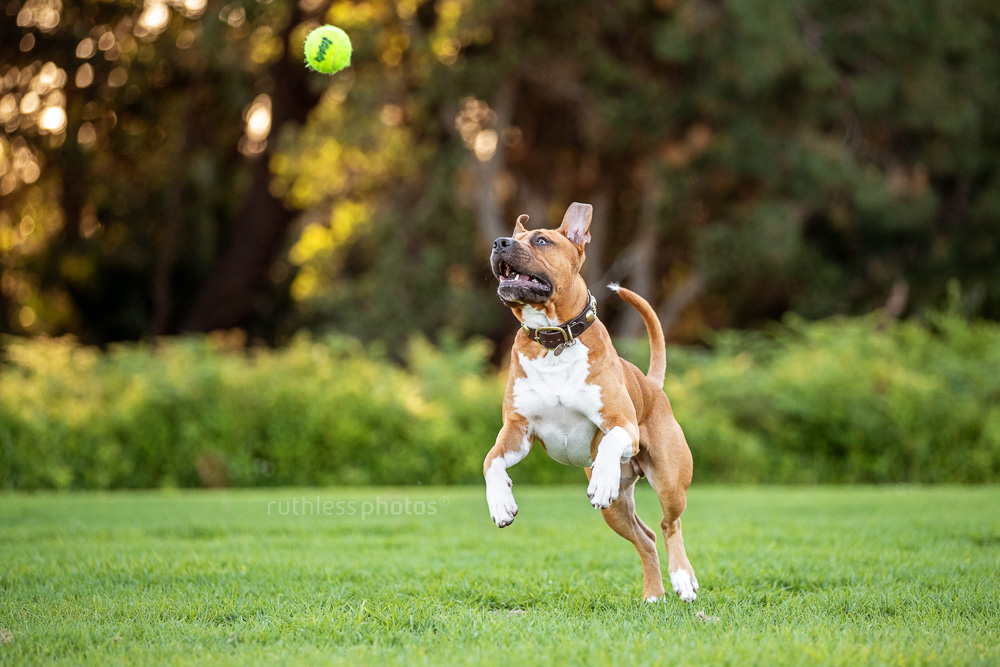 fit red pit bull dog with eye on ball in park