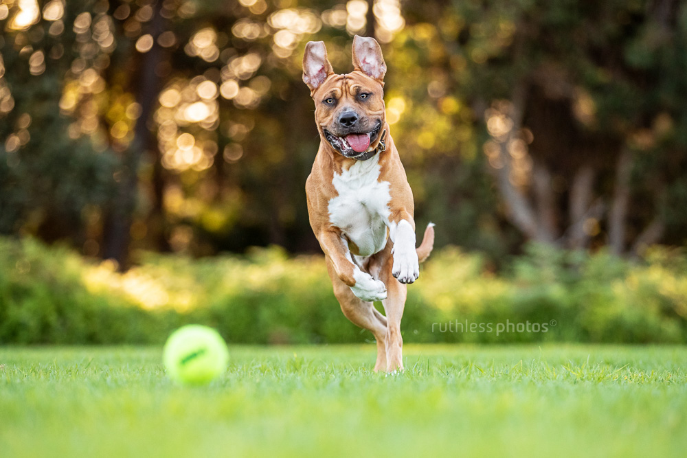 fit red pit bull dog running for ball in park