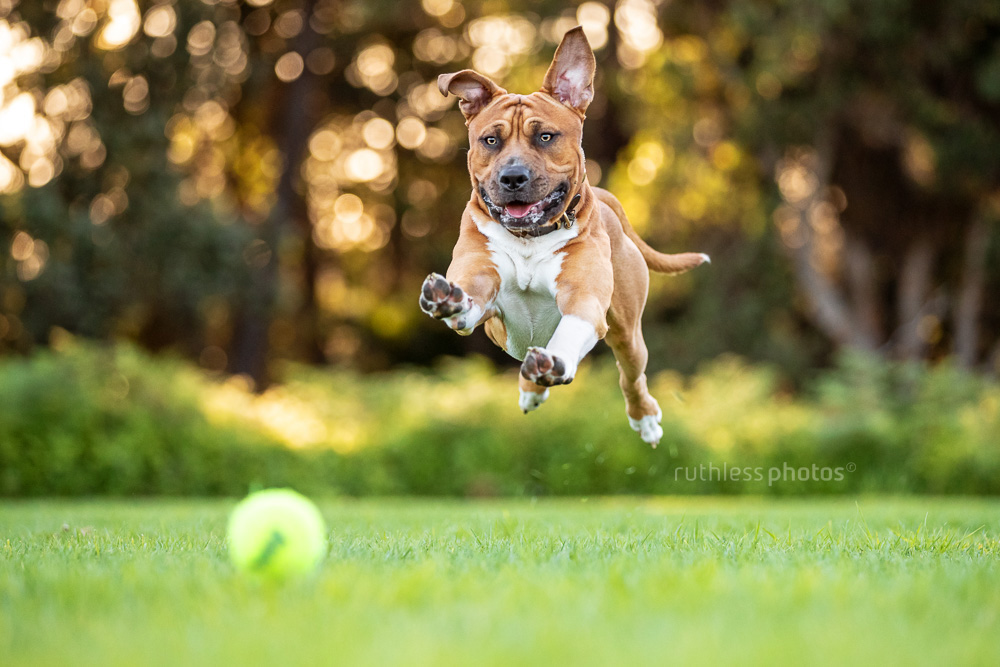 fit red pit bull dog pouncing for ball in park
