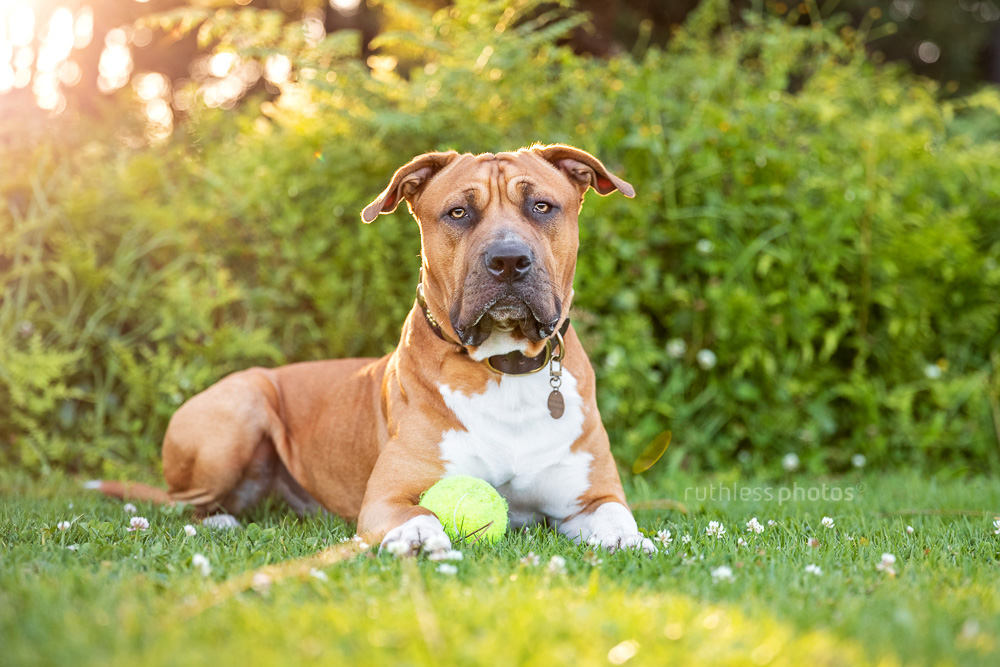 handsome red pit bull dog laying on the grass in the park with ball