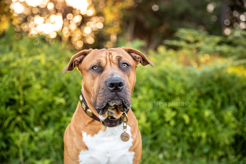 handsome red pit bull dog sitting in the park headshot