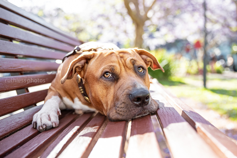 red pit bull type dog lying on wooden bench in front of frangipani tree