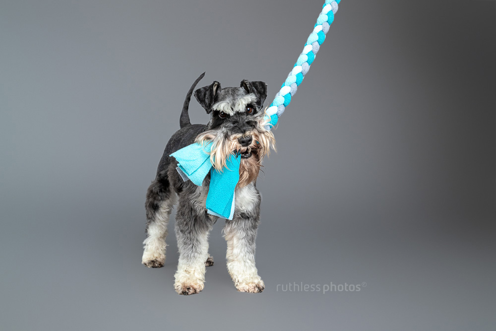 schnauzer playing with blue tug toy on grey backdrop