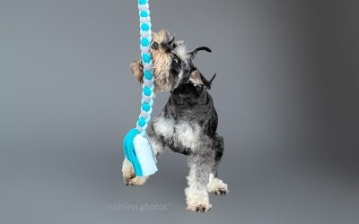 Henry the Schnauzer – Sydney Dog Photos
