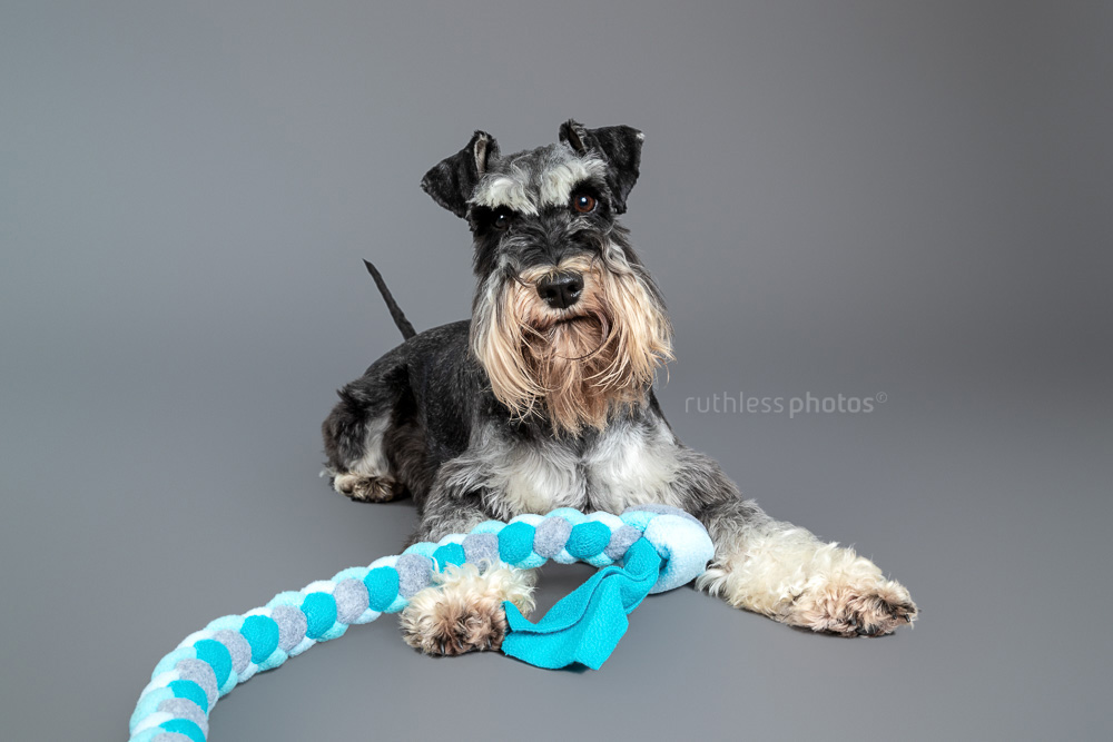 schnauzer laying with blue tug toy on grey backdrop