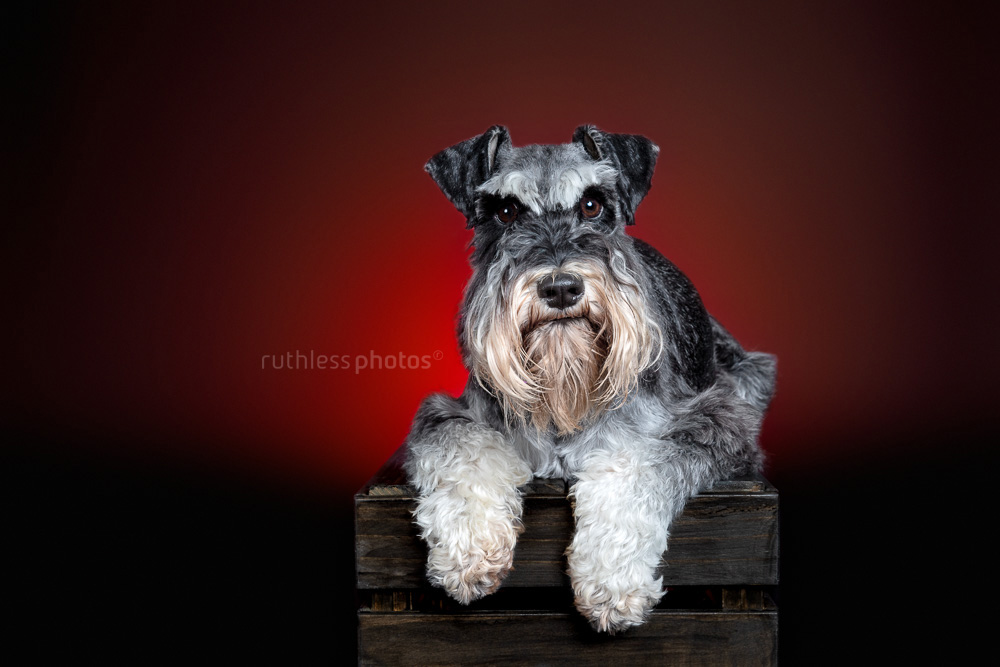 schnauzer laying on crate with red backlight