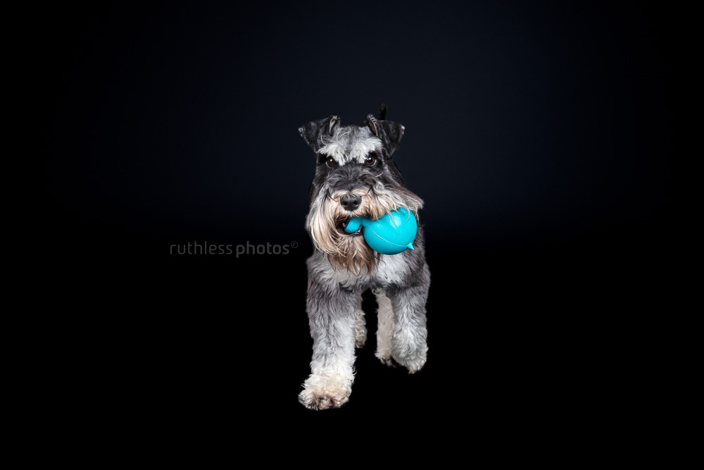 schnauzer playing with blue toy on black background