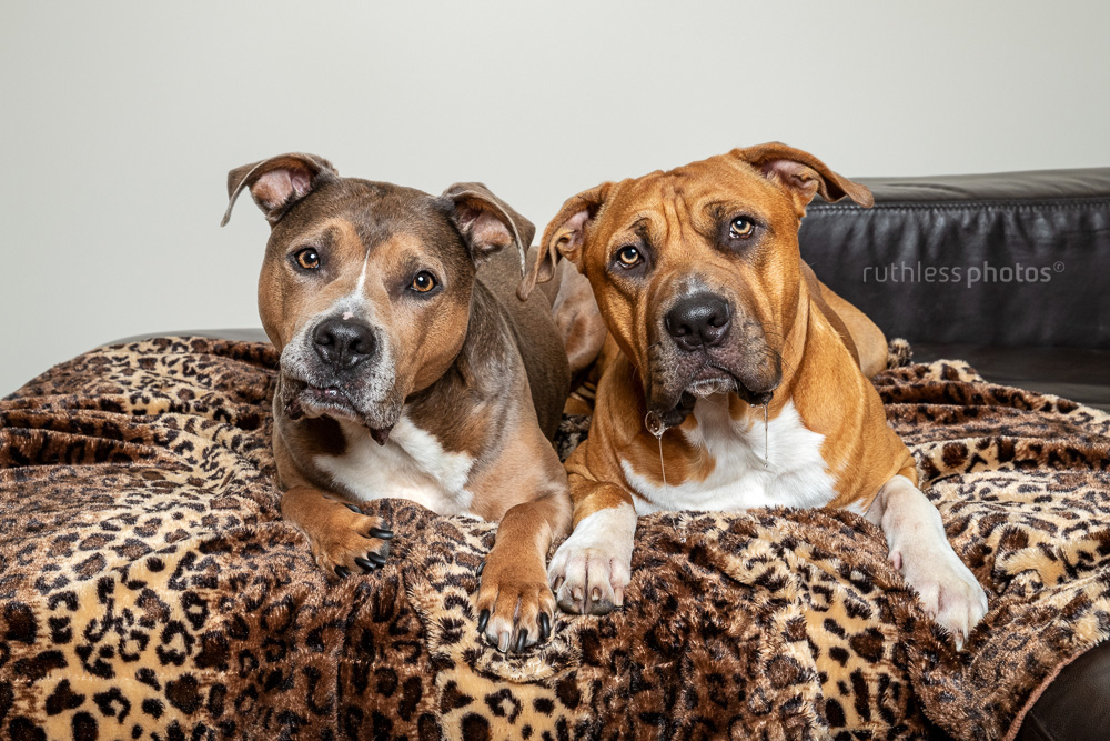 two pit bull type derpy drooly dogs on leopard blanket