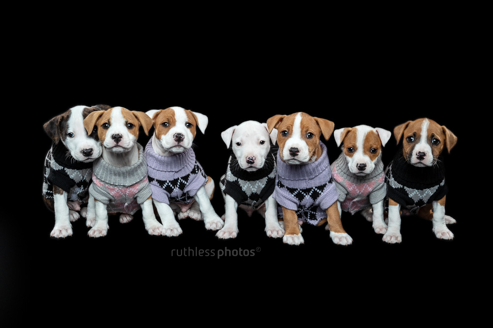 seven rescue pit bull type puppies wearing argyle jumpers