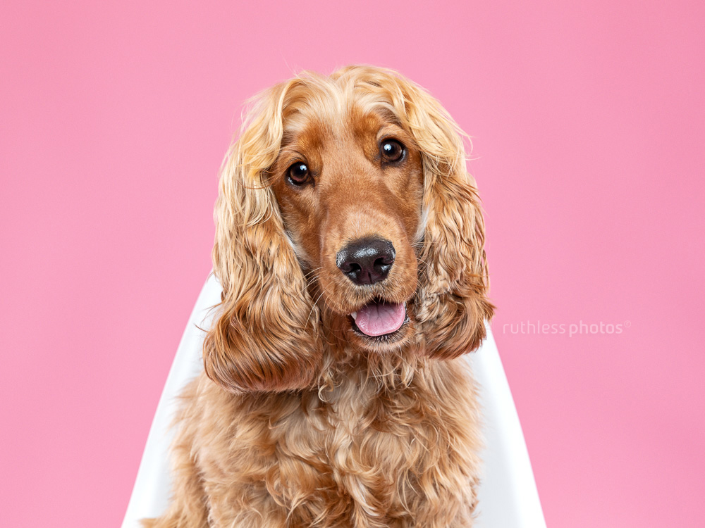 pretty smiling cocker spaniel on white chair with pink background