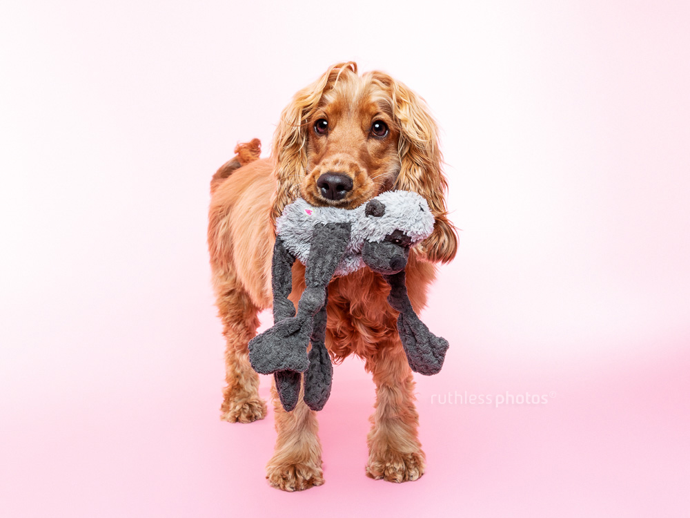 pretty smiling cocker spaniel standing holding soft toy in mouth on pink background