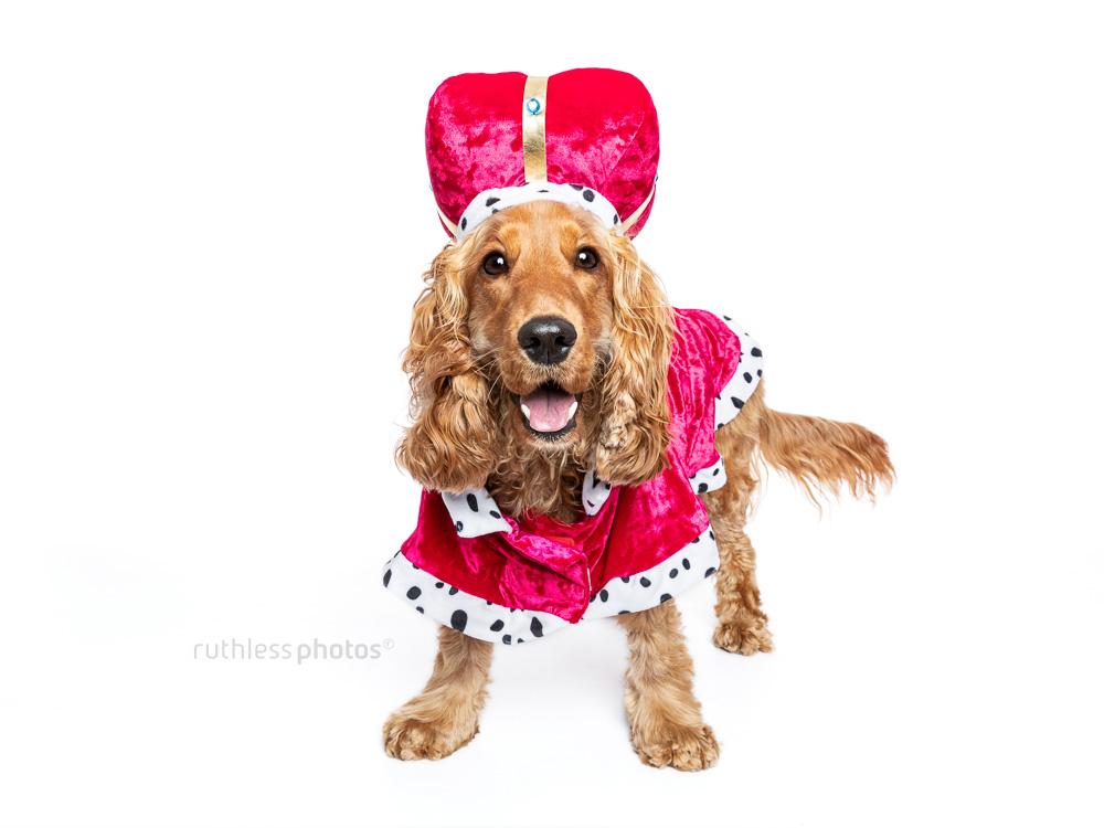 happy cocker spaniel wearing fancy dress costume