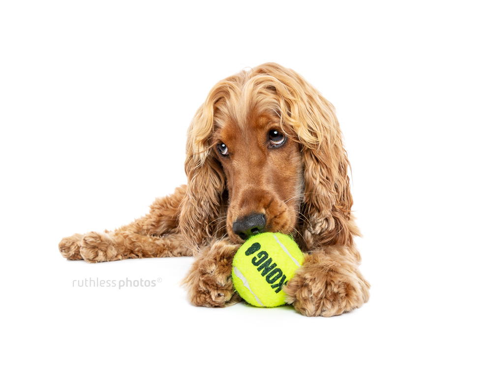 cute cocker spaniel lying on white backdrop with kong squeaky ball