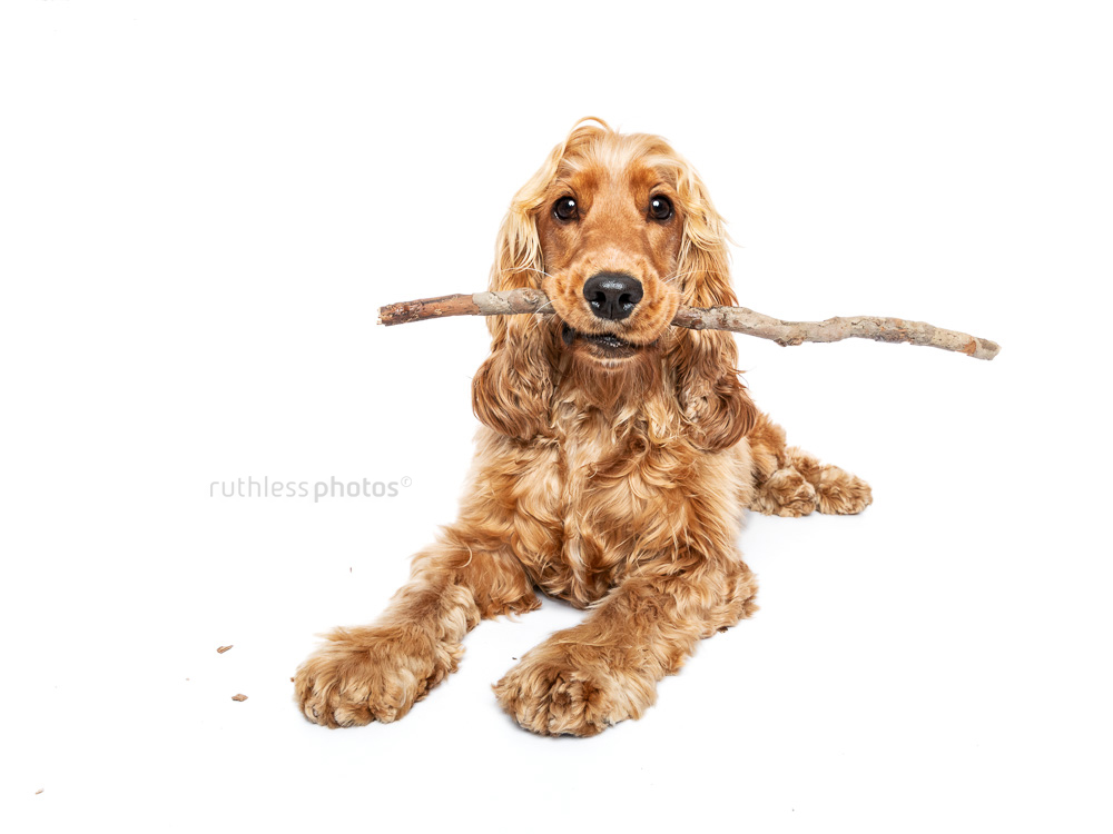 cute cocker spaniel lying on white backdrop with a stick in her mouth