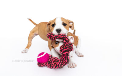 Distraction Project part two – Sydney Puppy Photography