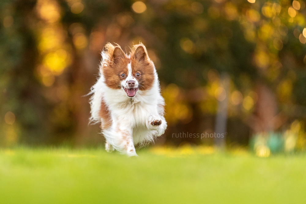 little spitz dog running at the park