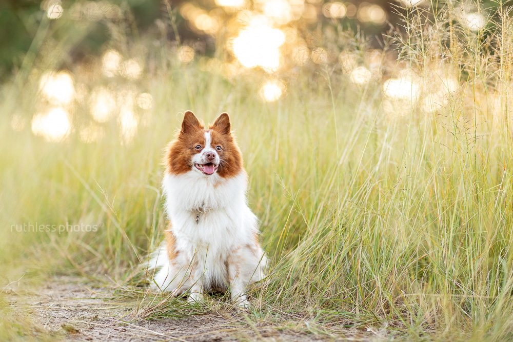 little red and white dog in long grass at golden hour sitting