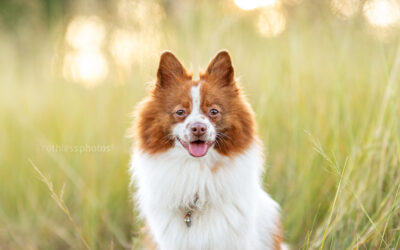 Benji the rescue Spitz – Sydney Pet Photographer