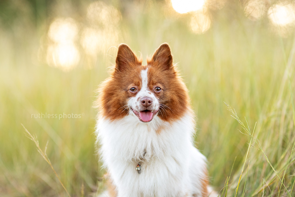 little red and white dog in long grass at golden hour headshot