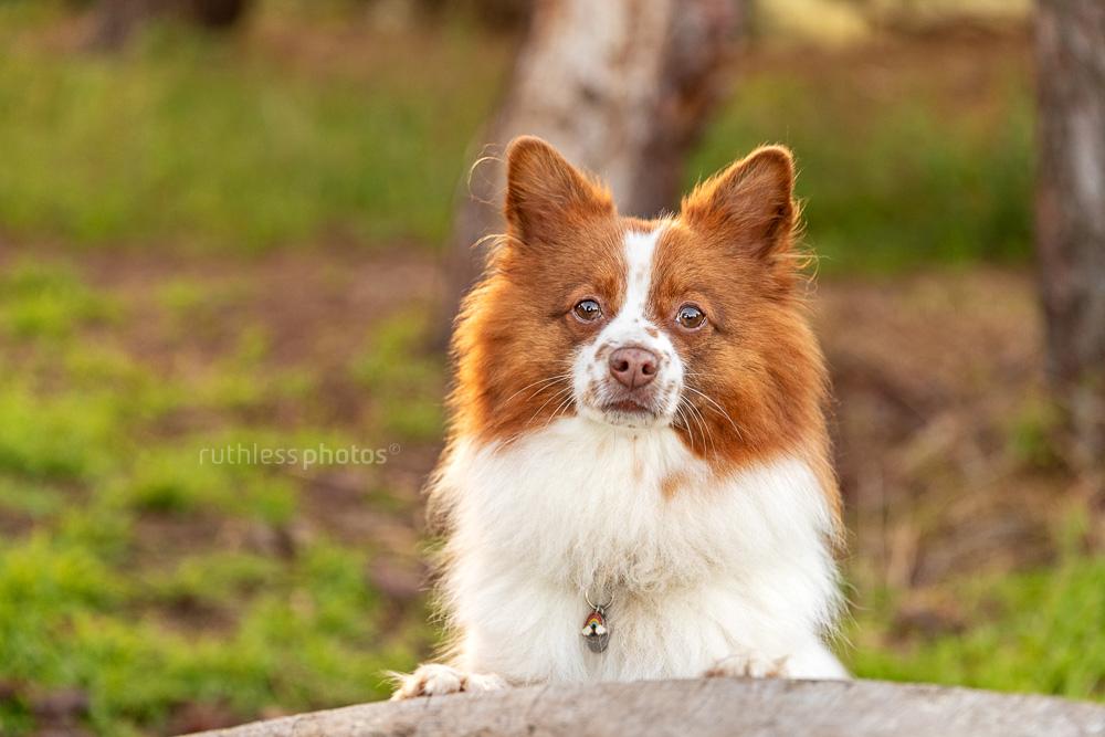little spitz dog against tree stump