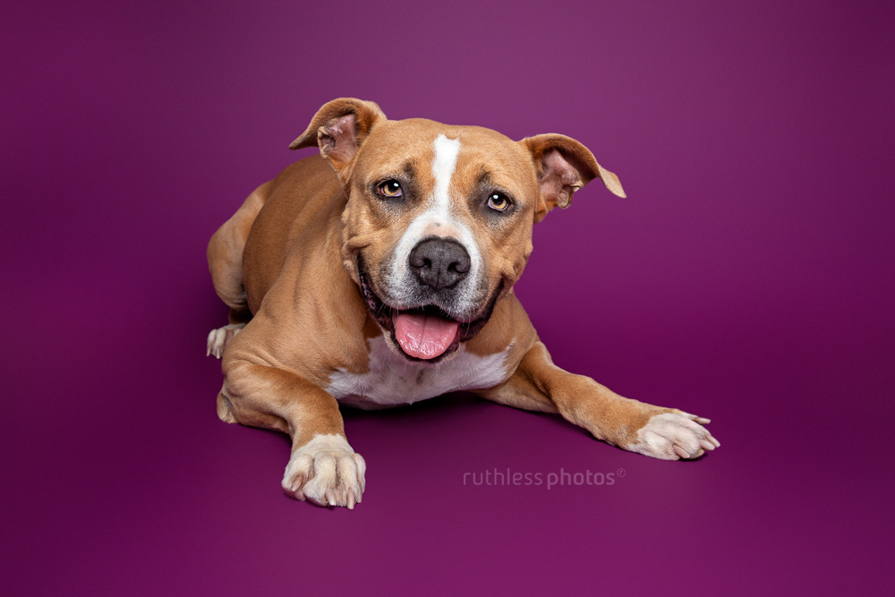 happy fawn pit bull lying on purple background