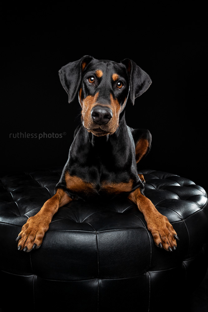doberman on black studio pet photography