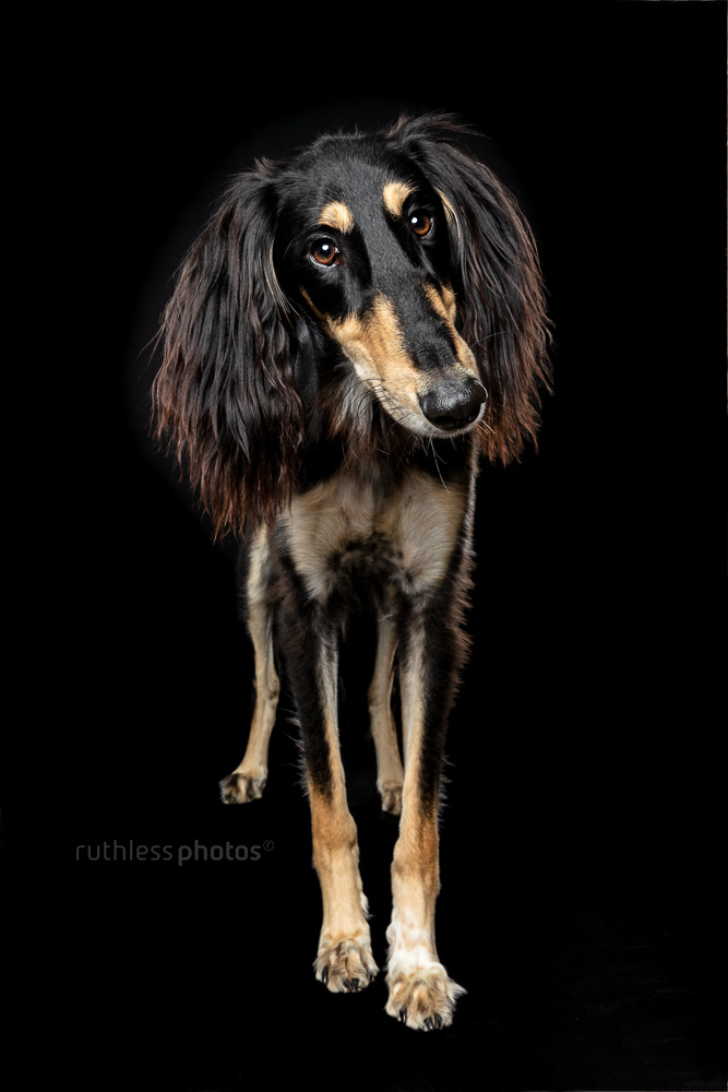saluki on black with head tilt