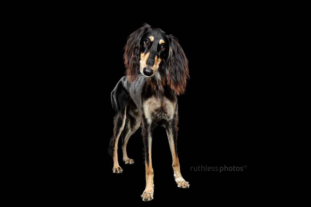 saluki on black full body standing