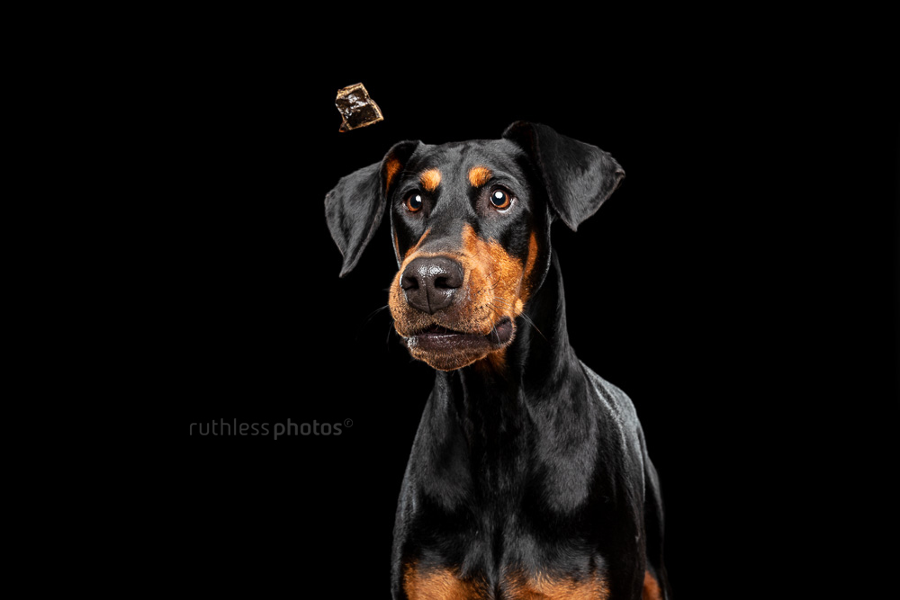 doberman catching a treat