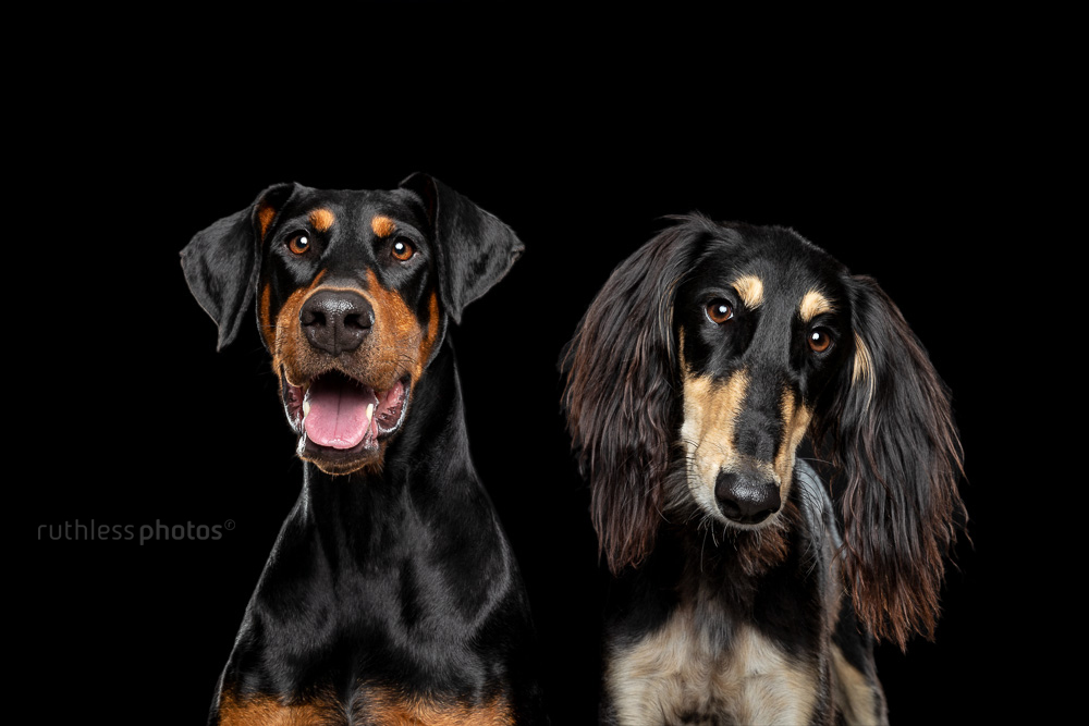 doberman and saluki on black headshot