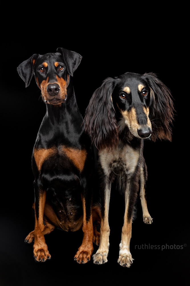 doberman and saluki on black side by side