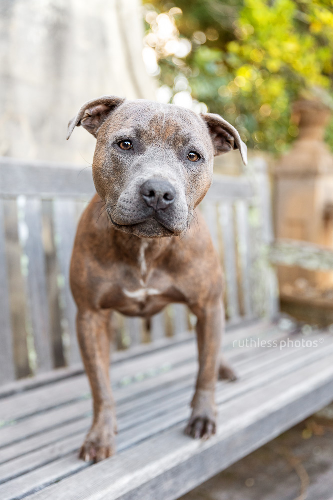 blue brindle staffy on wooden bench