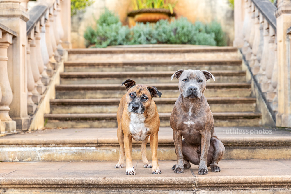 two dogs on sandstone staircase