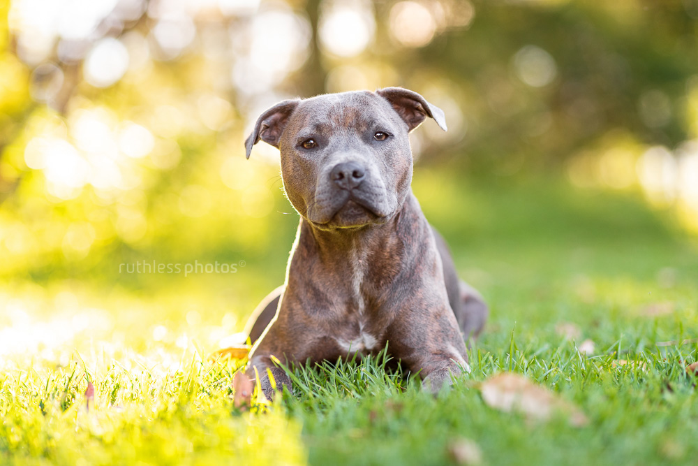 staffy lying on grass in park