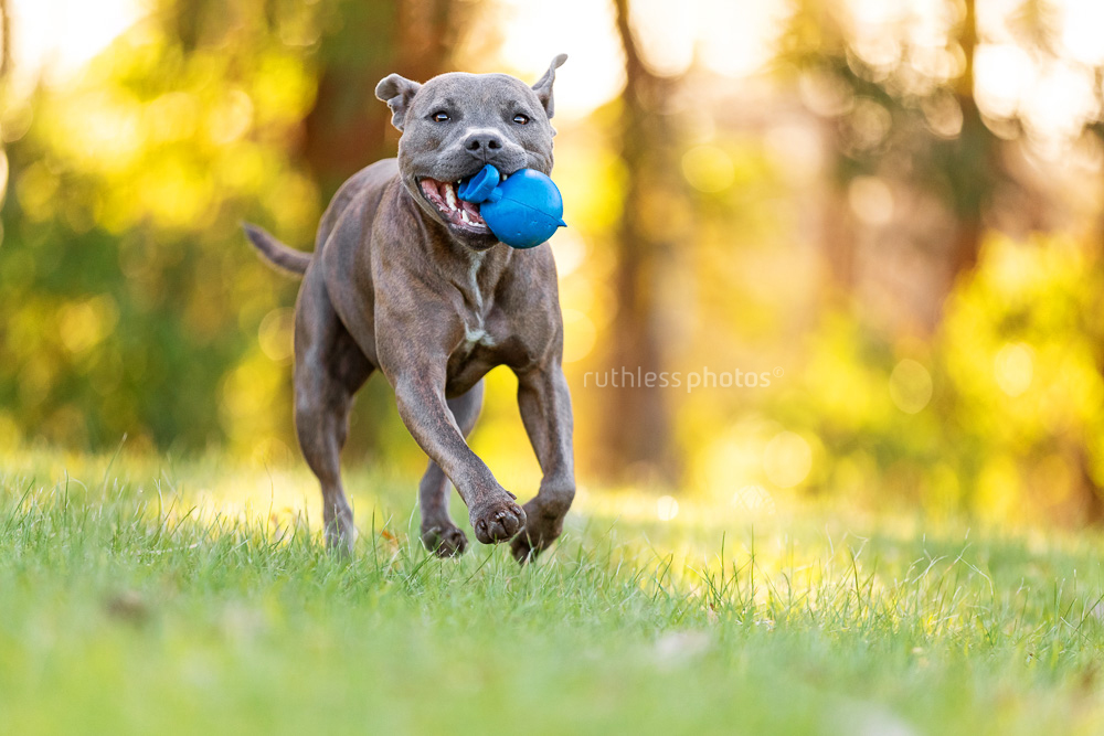 blue staffy running in park with blue ball