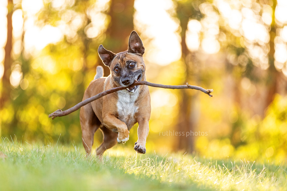 old red dog running with a big stick