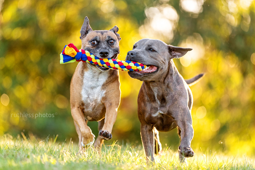 two dogs running with a toy in their mouth