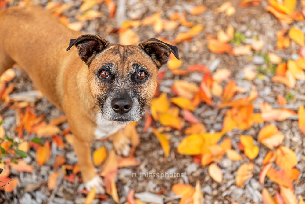 old red dog with grey muzzle standing in autumn leaves