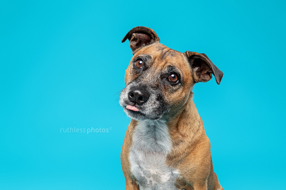 senior red staffy with head tilt and tongue poke
