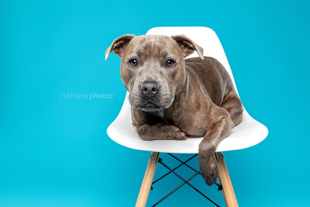 blue brindle staffy on white chair against blue background
