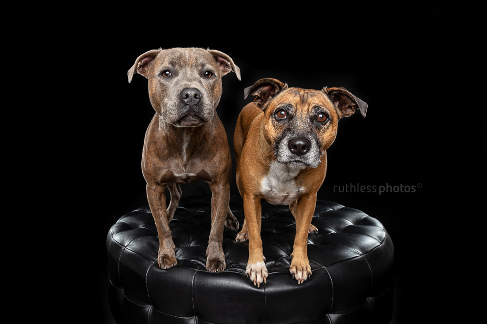 two staffys on a black ottoman against a black background