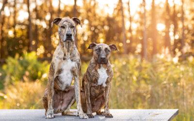 Scooby and Dobby – Sydney Dog Photography