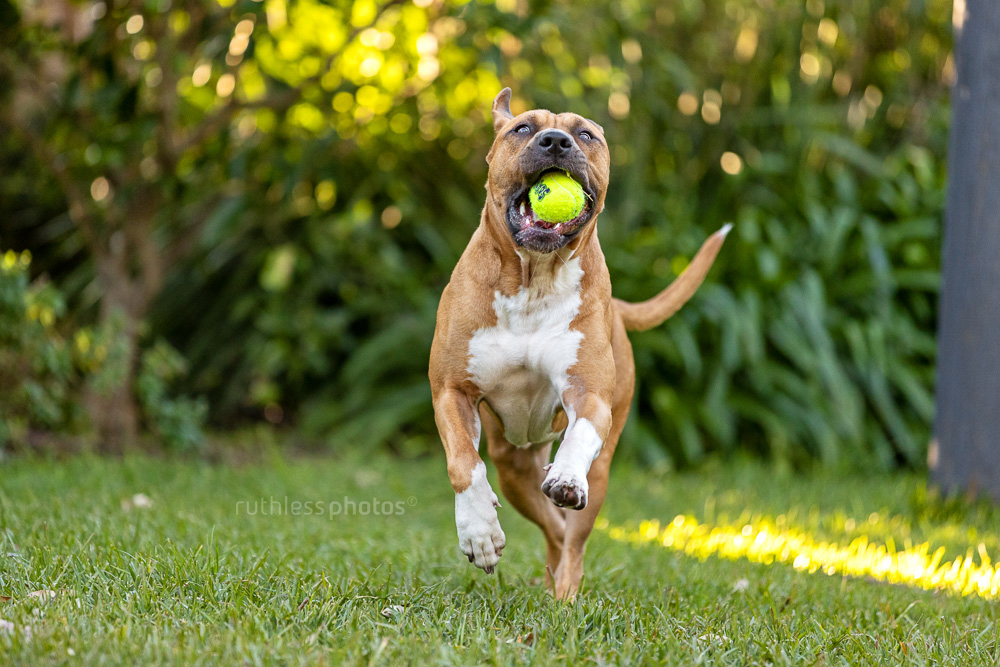 red pit bull type dog running in garden with ball